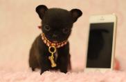 cachorro-toy-madrid